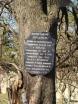 Вековой дуб на территории лагеря